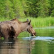 Eating moose — Stock Photo