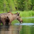 Eating moose — Stock Photo #33665455