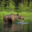 Female moose eating grass in a pond — Stock Photo