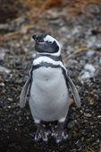 Pingwin — Zdjęcie stockowe