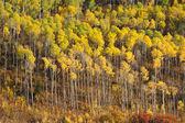 Aspen tree pattern — Stock Photo