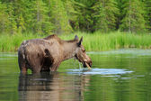 Eating moose — Stockfoto