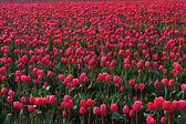 Red tulip farm — Stock Photo