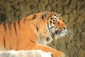 Royal bengal tiger — Stock Photo