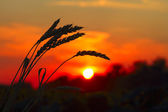 Sunset with wheat — Stock Photo