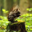 Wild squirrel — Foto Stock