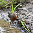 Ruddy-breasted Crake — ストック写真