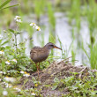 Water Rail — Stock Photo