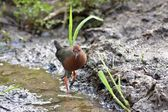 Ruddy-breasted Crake — Stock Photo