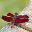 Stock Photo: Red dragonfly