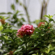 Ixora - Stock Photo