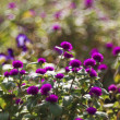 Stock Photo: Ageratum houstonianum