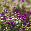 Ageratum houstonianum — Stock Photo