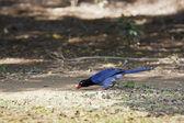Formosa magpie — Stock Photo