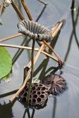 Lotus yaprağı soluk — Stok fotoğraf