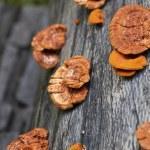 Glossy ganoderma( Ganoderma lucidum) — Stock Photo