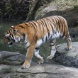 Stock Photo: Bengal tiger,Panthertigris tigris