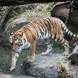 Royalty-Free Stock Photo: Bengal tiger,Panthera tigris tigris