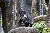Sun Bear,Helarctos malayanus — Stock Photo