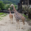 Giraffe,Giraffa camelopardalis - Stock Photo