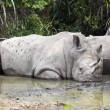 White Rhinoceros,Square-Lipped Rhinoceros , Ceratotherium simum - Stock Photo
