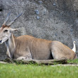 Stock Photo: Common eland ,Taurotragus oryx
