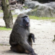 Stock Photo: Olive Baboon,Papio anubis