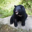 Formosa black bear,Ursus thibetanus formosanus - Stock Photo