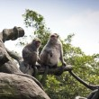 Crab-eating Macaque,Macaca fascicularis - Foto Stock