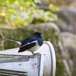 Male Oriental Magpie-Robin,Copsychus saularis - Stock Photo