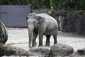 Asian elephant,Elephas maximus — Stock Photo