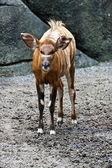 Bongo deer ,Tragelaphus eurycerus — Stock Photo