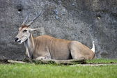 Common eland ,Taurotragus oryx — Stock Photo