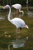 Lesser Flamingo,Phoeniconais minor — Stock Photo