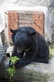 Formosa black bear,Ursus thibetanus formosanus — Stock Photo