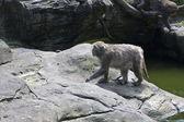 Krabbätande makak, macaca fascicularis — Stockfoto