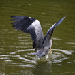 Grey Heron,Ardea cinerea - Stock Photo