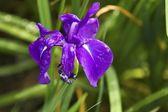 Viola grypoceras — Foto Stock