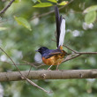 Male White-rumped Shama,Copsychus malabaricus - Stock Photo