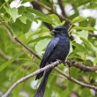 Bronzed Drongo,Dicrurus aeneus — Stock Photo #18352293