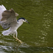 Black-crowned Night Heron,Nycticorax nycticorax — Foto de Stock