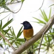 Male White-rumped Shama,Copsychus malabaricus — Stock Photo