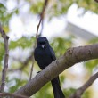 Bronzed Drongo,Dicrurus aeneus — Stock Photo #18353923