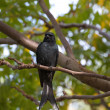 Bronzed Drongo,Dicrurus aeneus — Stock Photo
