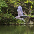 Immatures Black-crowned Night Heron,Nycticorax nycticorax — Foto Stock
