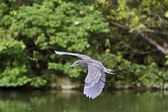 Immatures Black-crowned Night Heron,Nycticorax nycticorax — Stock Photo