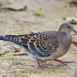 Royalty-Free Stock Photo: Oriental Turtle Dove,Streptopelia orientalis