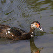 Muscovy Duck,Cairina Moschata — Stock Photo
