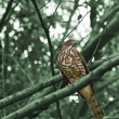 Crested Goshawk,Accipiter trivirgatus — Stock Photo