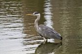 Grey Heron,Ardea cinerea — Stock Photo